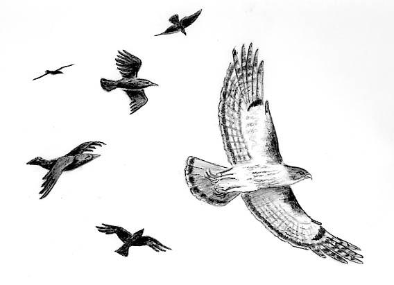 CrowsMobbingHawk