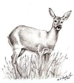 roe_deer_drawing