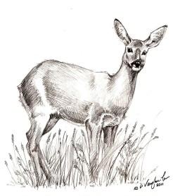roe_deer_drawing