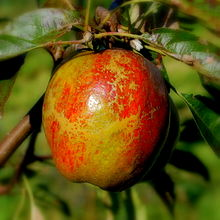 Cornish_Aromatic_apple