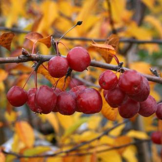 Malus-Red-Sentinel-Fruit