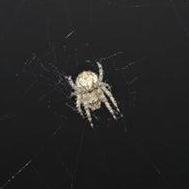 dewithon spider