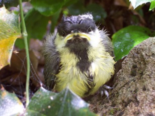 Great_Tit_fledgeling