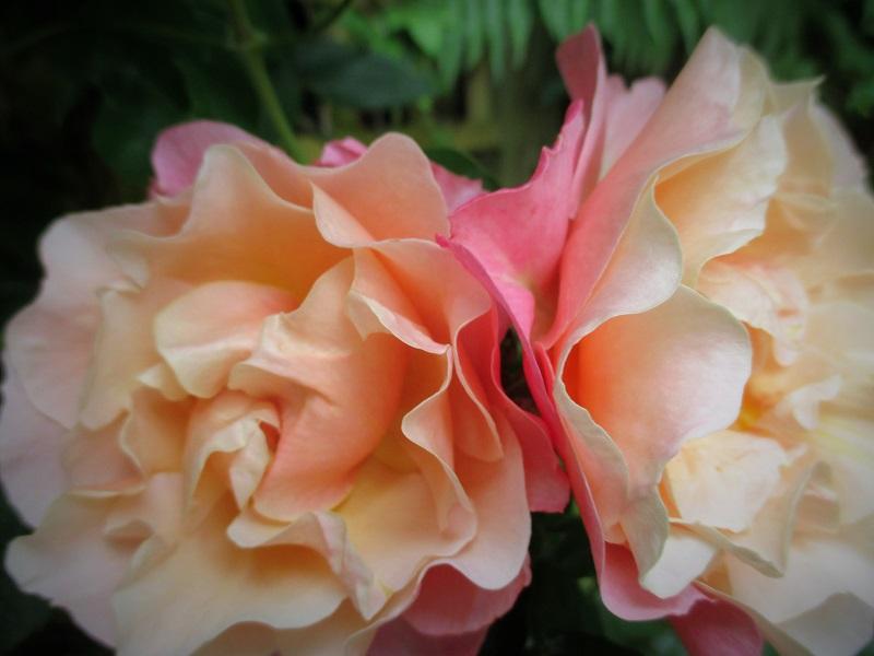 1 evening rose