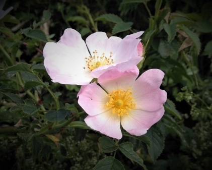 5 flowers - dog rose