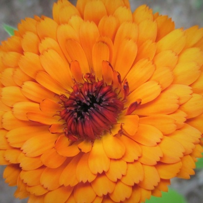 Indian marigold